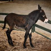 Irish Art, Donkey foal,