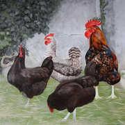 Lissadobber Poultry