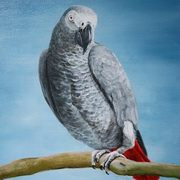 Popeye the African Grey