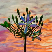Agapanthus at Sunset Number 1