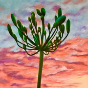 Agapanthus at Sunset Number 2