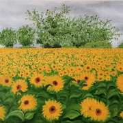 Sunflowers in Shillelagh