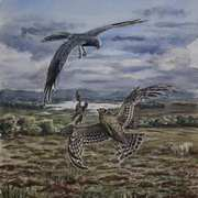 ood Pass Hen Harriers on Bockagh Hill