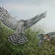 Art 'Sparrowhawk and Chaffinch'