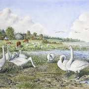 Whooper Swans, Lough Gara, Co. Sligo