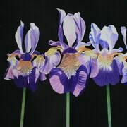 5 Irises