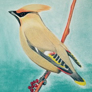 Wary Waxwing