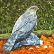 Sparrow hawk and Prey