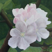 Bramley Apple Blossom