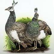 Peacock Girls