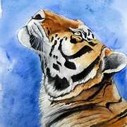 Staring Tiger