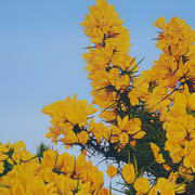 Gorse in Full Bloom II
