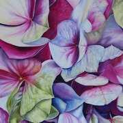 Pink and Purple Hydrangea